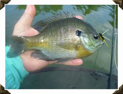 Bluegill taken on a Panfish Polecat in Fremont County, Iowa - August, 2005